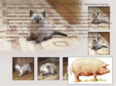 Примером может служить выведенная академиком М.Ф. Ивановым порода свиней - ук...