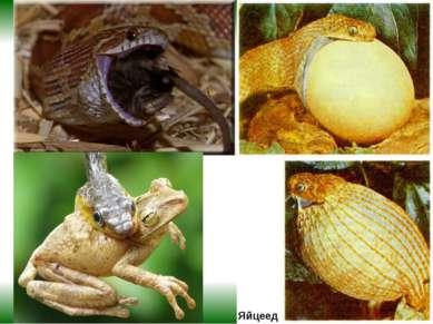 Яйцеед Пожалуй, самый необычный рацион у яичной змеи – она питается исключите...