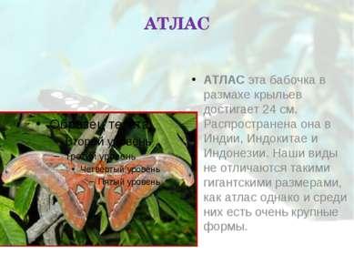 АТЛАС АТЛАС эта бабочка в размахе крыльев достигает 24 см. Распространена она...
