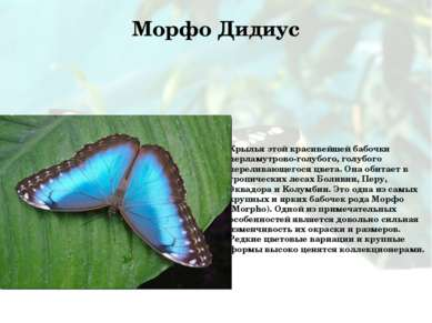 Морфо Дидиус Крылья этой красивейшей бабочки перламутрово-голубого, голубого ...
