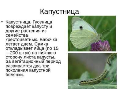 Капустница Капустница. Гусеница повреждает капусту и другие растения из семей...