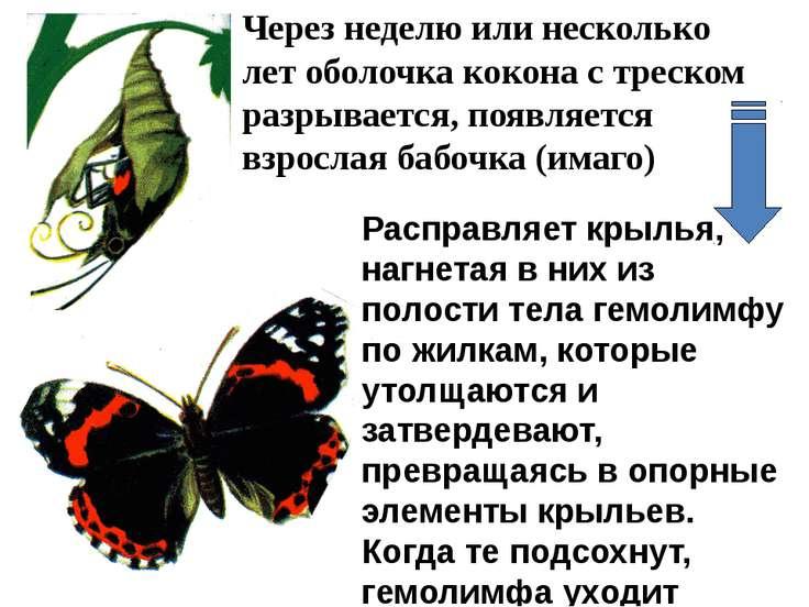 Расправляет крылья, нагнетая в них из полости тела гемолимфу по жилкам, котор...