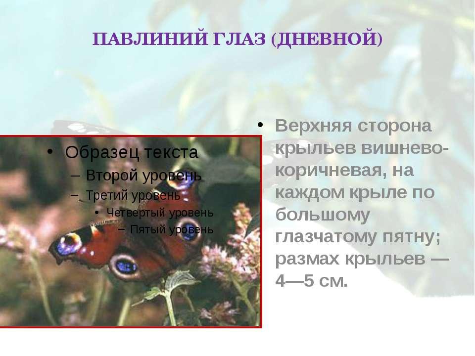 ПАВЛИНИЙ ГЛАЗ (ДНЕВНОЙ) Верхняя сторона крыльев вишнево-коричневая, на каждом...
