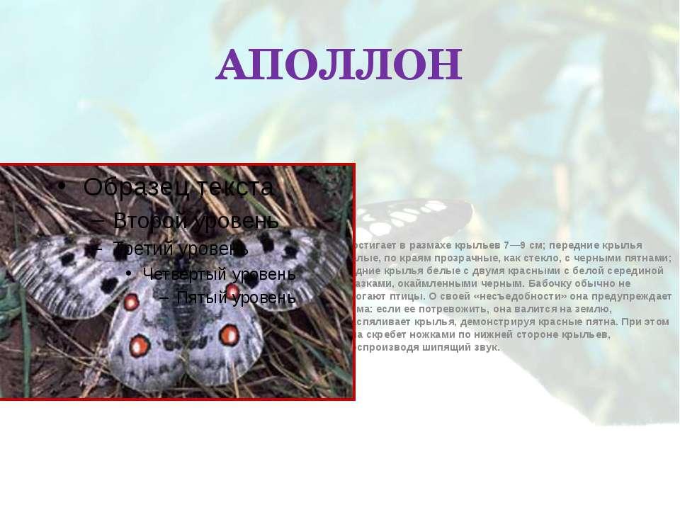 АПОЛЛОН Достигает в размахе крыльев 7—9 см; передние крылья белые, по краям п...
