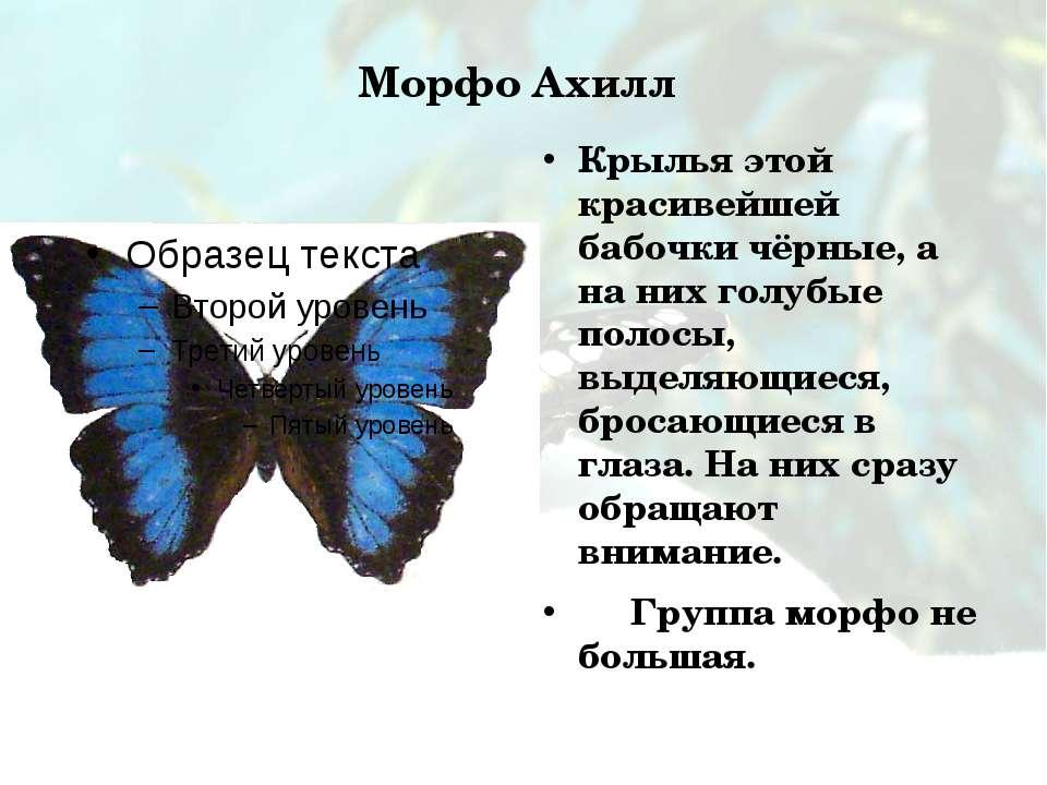 Морфо Ахилл Крылья этой красивейшей бабочки чёрные, а на них голубые полосы, ...