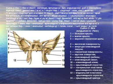 СЫНА СҮЙЕК (АЛДЫНАН КӨРІНІС) 1 — большое крыло; 2 — малое крыло; 3 — верхняя ...