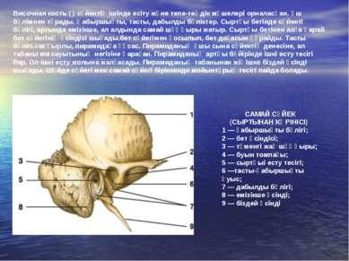 САМАЙ СҮЙЕК (СЫРТЫНАН КӨРІНІСІ) 1 — қабыршықты бөлігі; 2 — бет өсіндісі; 3 — ...