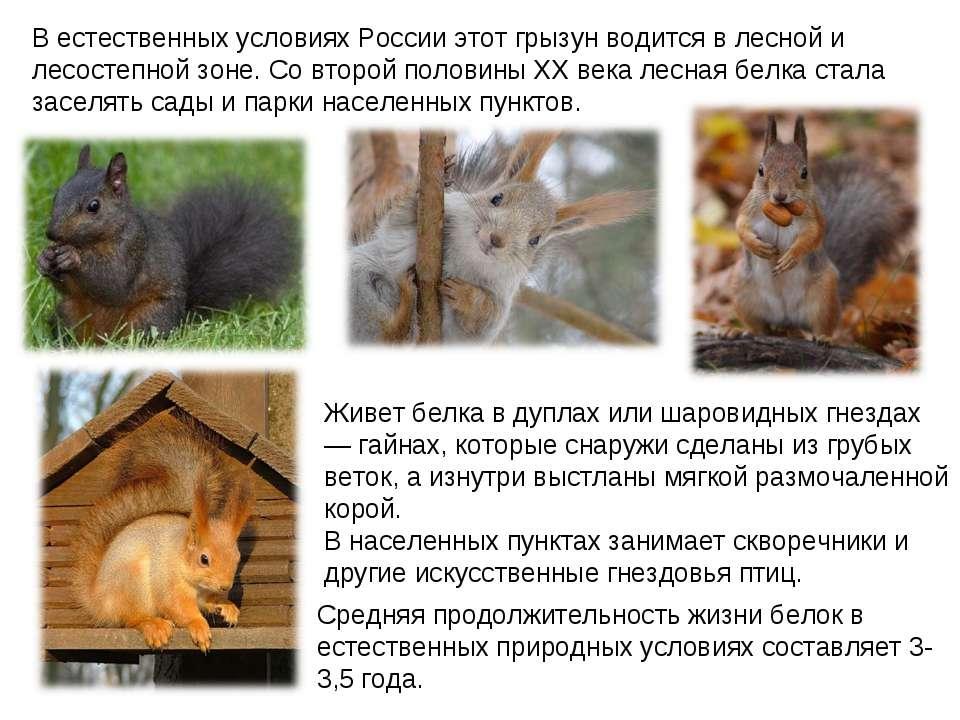 В естественных условиях России этот грызун водится в лесной и лесостепной зон...