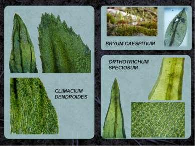 CLIMACIUM DENDROIDES BRYUM CAESPITIUM  ORTHOTRICHUM SPECIOSUM