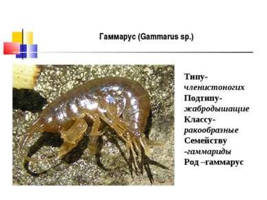 Гаммарус (Gammarus sp.) Типу- членистоногих Подтипу- жабродышащие Классу- рак...