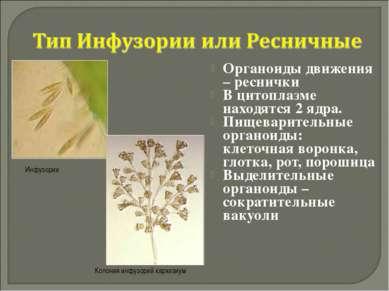 Органоиды движения – реснички В цитоплазме находятся 2 ядра. Пищеварительные ...