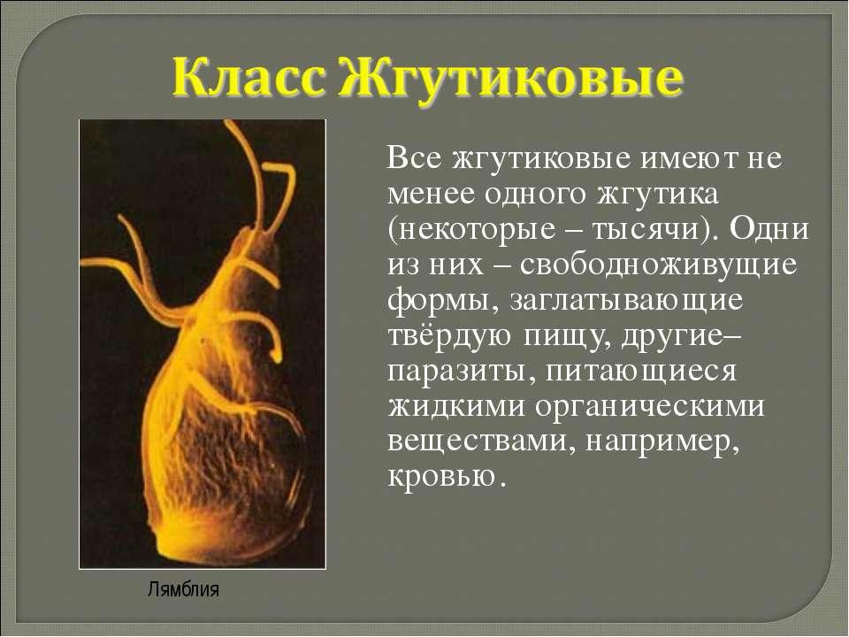 Все жгутиковые имеют не менее одного жгутика (некоторые – тысячи). Одни из ни...