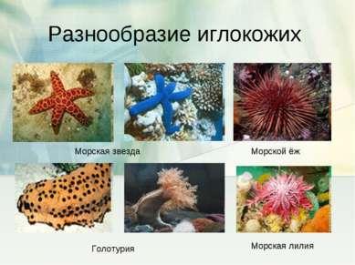 Разнообразие иглокожих Морская звезда Морской ёж Голотурия Морская лилия