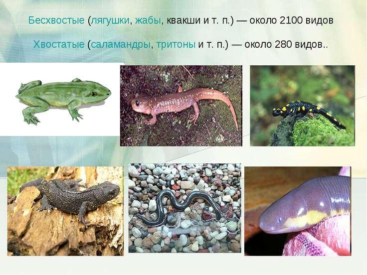 Бесхвостые (лягушки, жабы, квакши и т.п.)— около 2100 видов Хвостатые (сала...