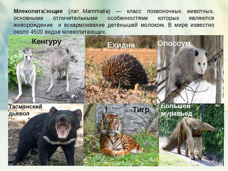 Млекопита ющие (лат.Mammalia) — класс позвоночных животных, основными отличи...