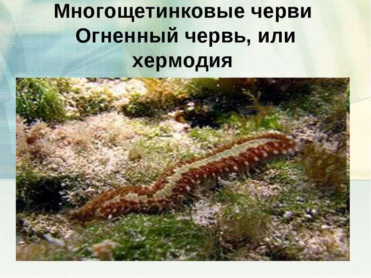 Многощетинковые черви Огненный червь, или хермодия