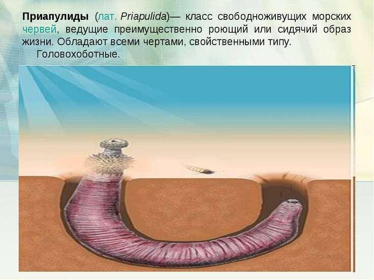 Приапулиды (лат.Priapulida)— класс свободноживущих морских червей, ведущие п...