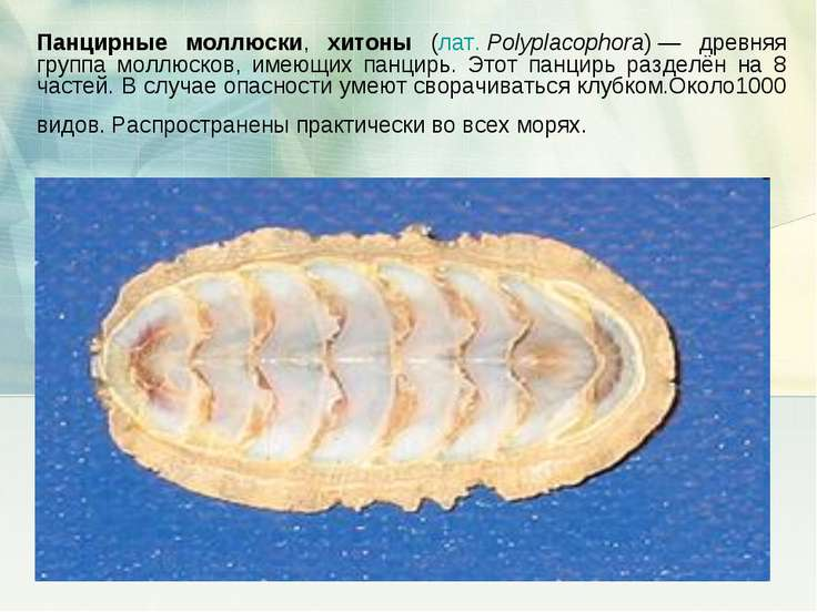 Панцирные моллюски, хитоны (лат.Polyplacophora)— древняя группа моллюсков, ...