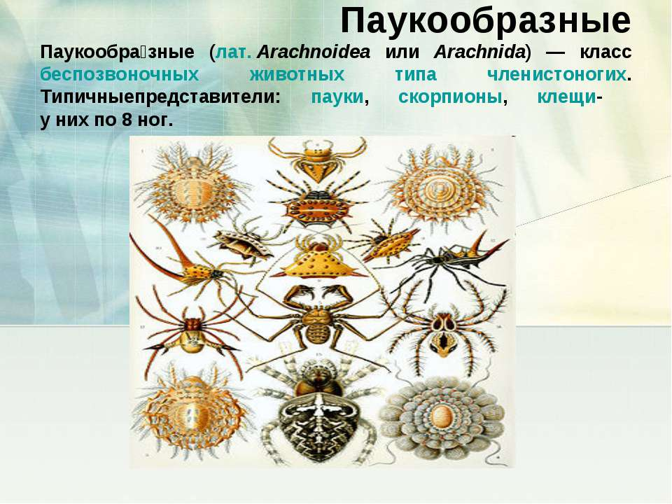 Паукообразные Паукообра зные (лат.Arachnoidea или Arachnida) — класс беспозв...