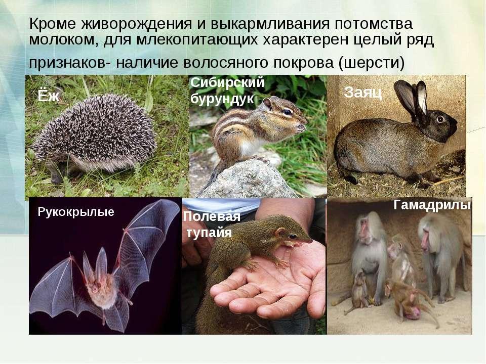 Кроме живорождения и выкармливания потомства молоком, для млекопитающих харак...