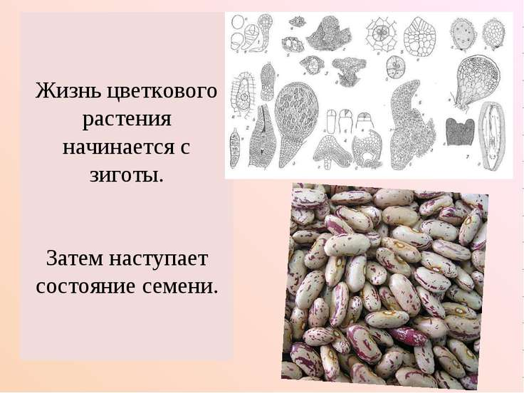 Жизнь цветкового растения начинается с зиготы. Затем наступает состояние семени.