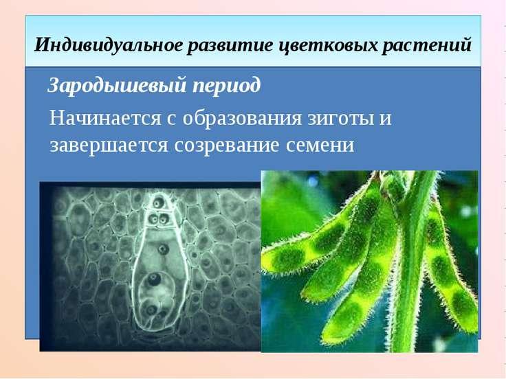 Индивидуальное развитие цветковых растений Зародышевый период Начинается с об...