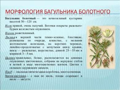 Багульник болотный— это вечнозеленый кустарник высотой 50—120 см. Кустпрям...