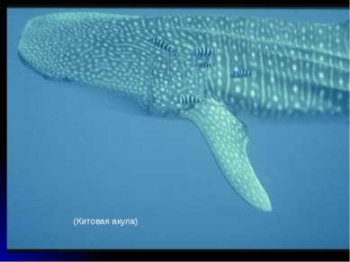 (Китовая акула)