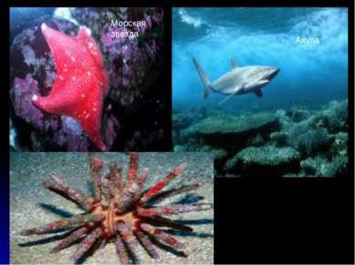 Морская звезда Акула