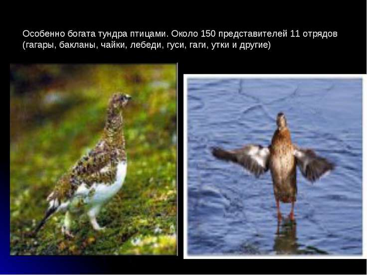 Особенно богата тундра птицами. Около 150 представителей 11 отрядов (гагары, ...