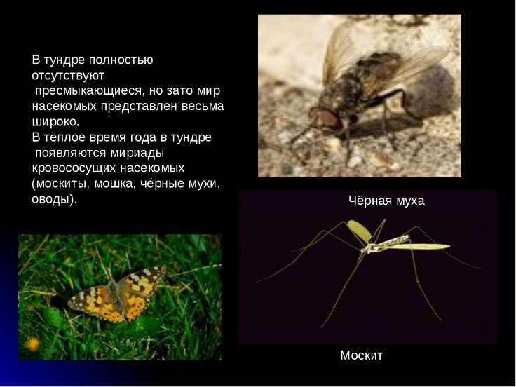 В тундре полностью отсутствуют пресмыкающиеся, но зато мир насекомых представ...