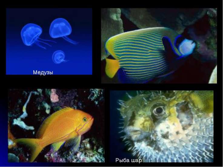 Медузы Рыба шар