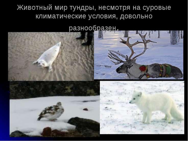 Животный мир тундры, несмотря на суровые климатические условия, довольно разн...
