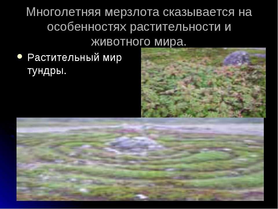 Многолетняя мерзлота сказывается на особенностях растительности и животного м...