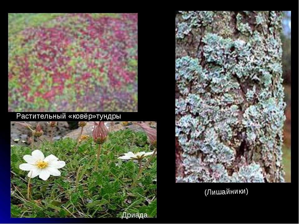 Растительный «ковёр»тундры (Лишайники) Дриада