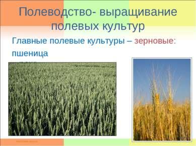 Полеводство- выращивание полевых культур Главные полевые культуры – зерновые:...