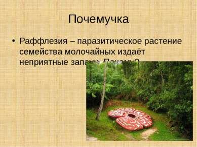 Почемучка Раффлезия – паразитическое растение семейства молочайных издаёт неп...