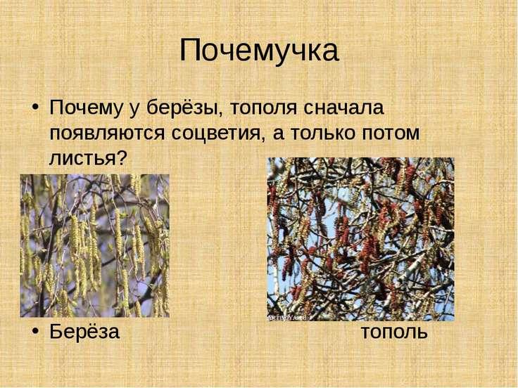 Почемучка Почему у берёзы, тополя сначала появляются соцветия, а только потом...