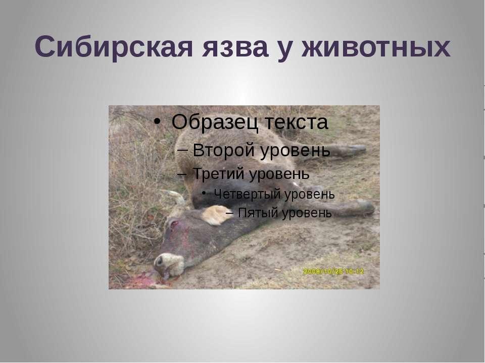 Сибирская язва у животных