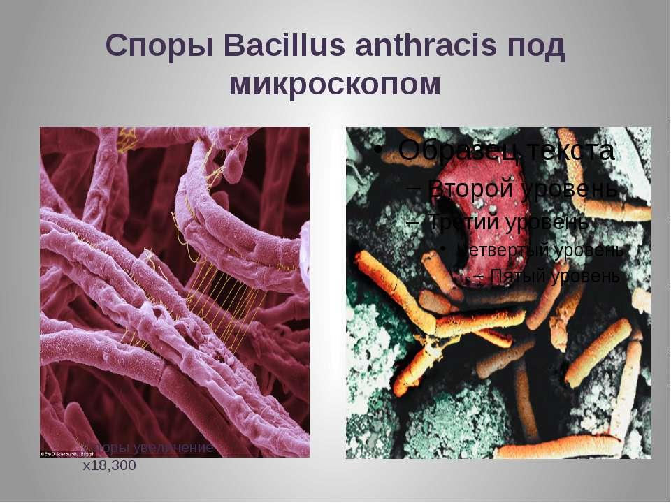 Споры Вacillus anthracis под микроскопом Споры увеличение x18,300
