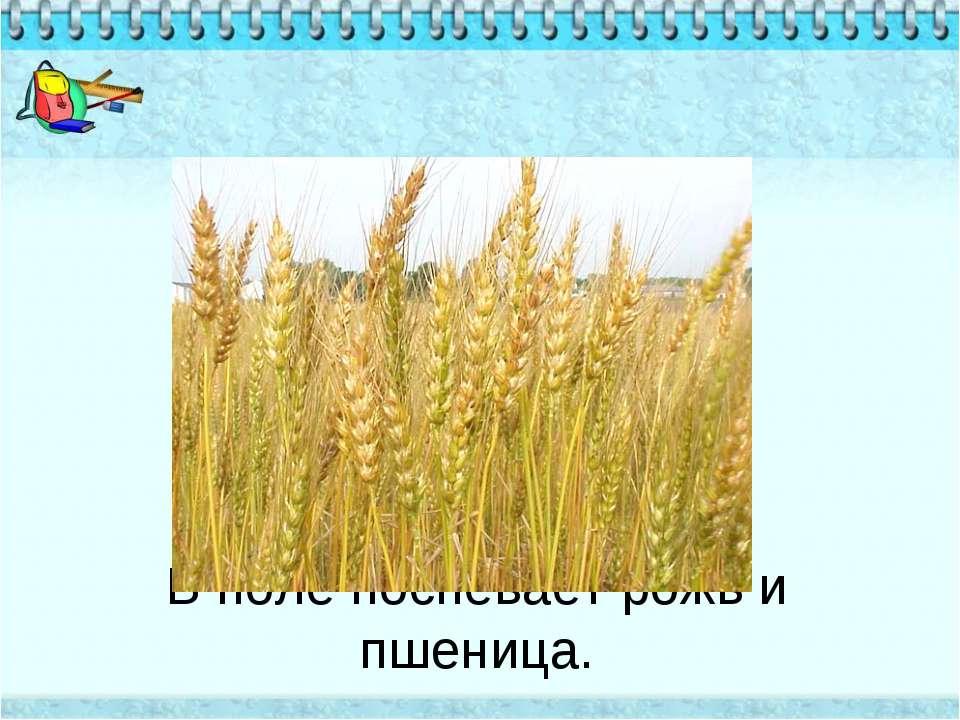 В поле поспевает рожь и пшеница.