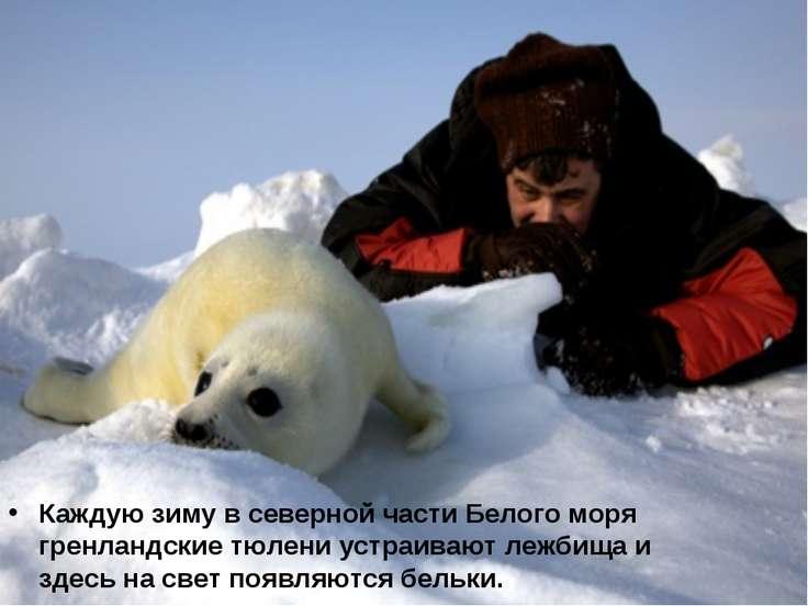 Каждую зиму в северной части Белого моря гренландские тюлени устраивают лежби...