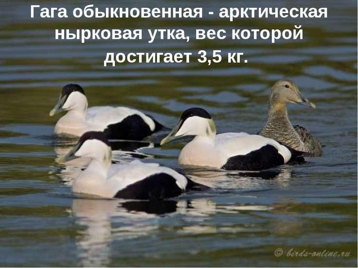 Гага обыкновенная - арктическая нырковая утка, вес которой достигает 3,5 кг.