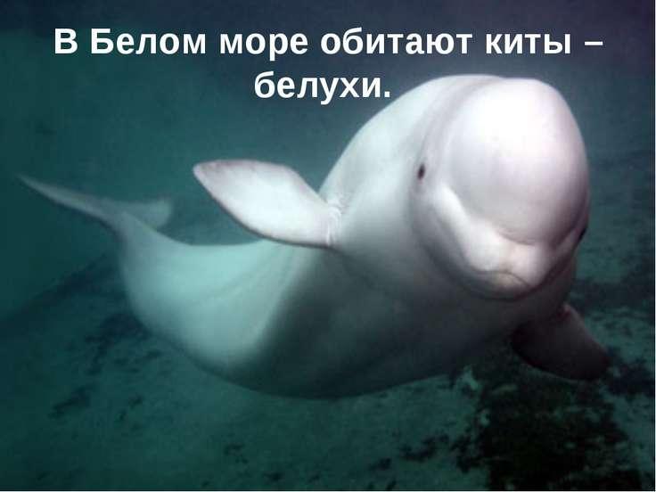 В Белом море обитают киты – белухи.