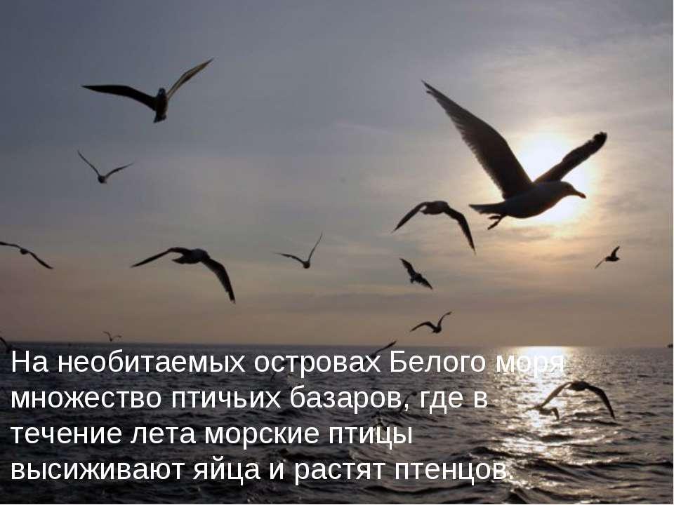 На необитаемых островах Белого моря множество птичьих базаров, где в течение ...