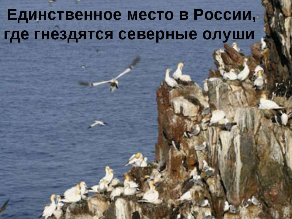 Единственное место в России, где гнездятся северные олуши