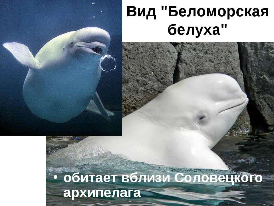 """Вид """"Беломорская белуха"""" обитает вблизи Соловецкого архипелага"""