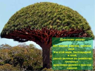 Драконово дерево Вот жаркая Африка, тропики, зной... И в этой жаре, беспощадн...