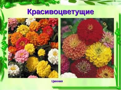 Красивоцветущие Цинния