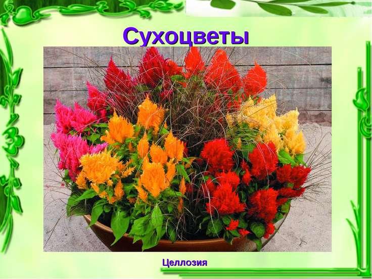 Сухоцветы Целлозия